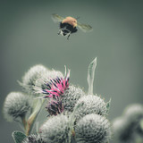 Vintage faded close-up image of a bumblebee flying away from purple Great Globe Thistle flower, blurred green background - 172164955