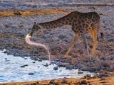 Giraffe is drinking on a waterhole, etosha nationalpark, namibia, (giraffa camelopardalis)