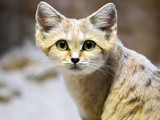 Sand cat, Felis margarita, is a beautiful desert cat - 172185109