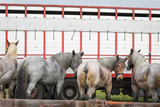 Group of Belgian draft horses waiting in front of a trailer outdoor in rainy weather