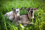 A beautiful photo of two little goats that lie together in grass - 172220783
