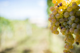 Grapes in a vineyard (selective focus) - 172223533