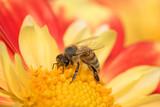 Dahlienblüte, Biene, Blütenstaub