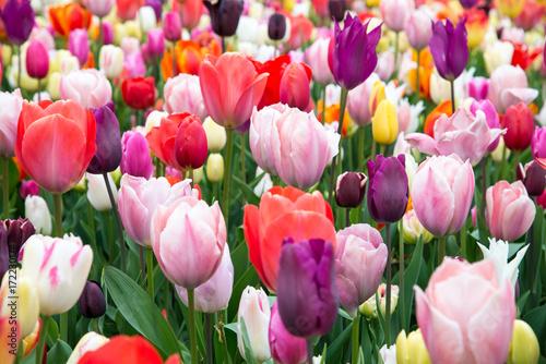 Fotobehang Tulpen Colorful tulips in the park. Spring landscape