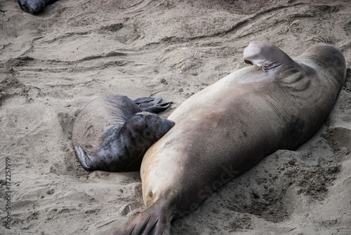Elephant Seal Mother and Pup Nursing Poster