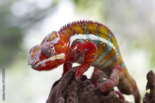 In de dag Panter panther Chameleon