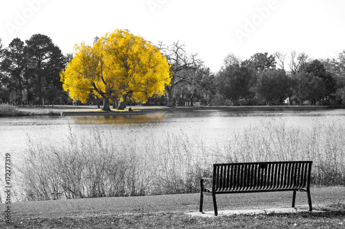 Złoty żółty drzewo w czarny i biały krajobrazowej scenie z pustą parkową ławką przegapia wodę