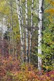 Birch Trunks and Colorful Foliage