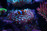 clown fish with corals