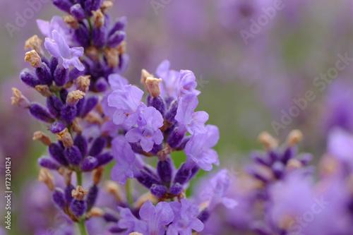 Fotobehang Lavendel Fleurs de lavande. Macro.