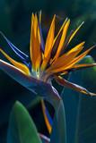 Strelitzia reginae - 172321129