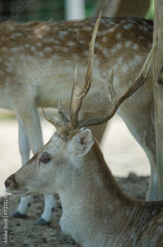 Beautiful White Tail Fawn Deer плакат