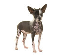 Standing chinese crested puppy dog seen from the side isolated on a white background