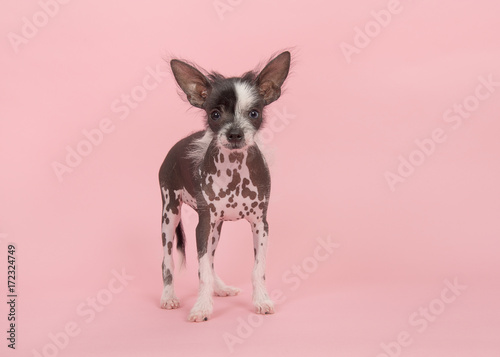 Cute chinese crested puppy dog standing on a pink background