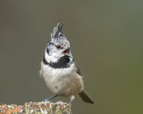 Crested tit sitting on a wooden stump - 172331912