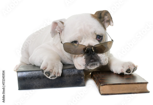 puppy english bulldog reading