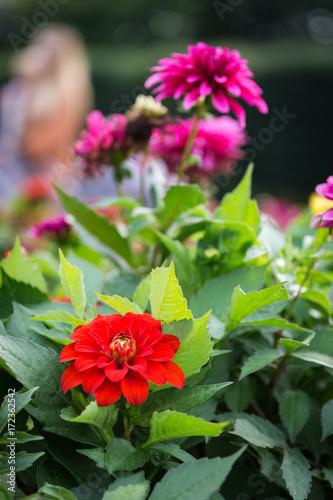 Red garden dahlia flower at garden
