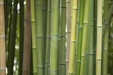 plantación bambú