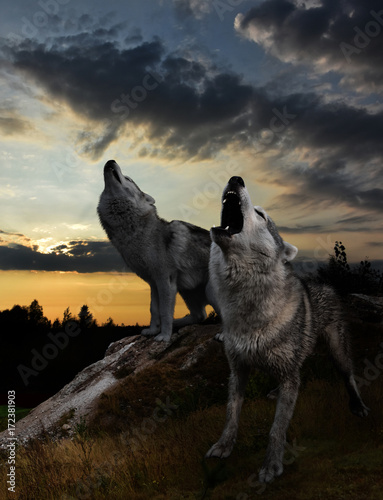 Fotobehang Wolf after the sun sets, the time of the wolves begins