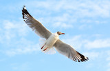 Seagull fly in the sky at Bang Pu,Thailand. - 172385103