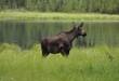 Female moose in Alaska in grass