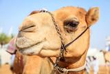 Racing camel - 172422136