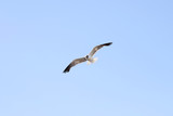Seagull is flying in the sky - 172422300