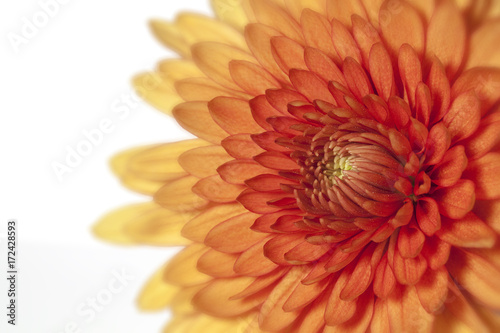 Plexiglas Gerbera Chrysanthemum