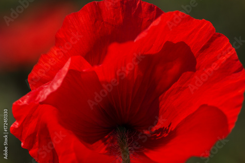 Poster Rood traf. Red poppy flowers.