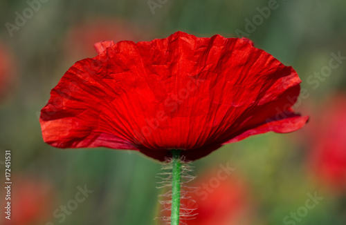 Fotobehang Rood traf. Red poppy flowers.