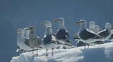 Closeup of Gulls on Iceberg, Endicott Arm, Alaska - 172454177