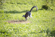 lemure - 172464755
