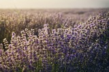 Morning Lavender Field - 172491323