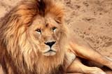 Un lion - 172500962