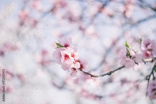 Das Mandelblütenfest in Gimmeldingen Poster