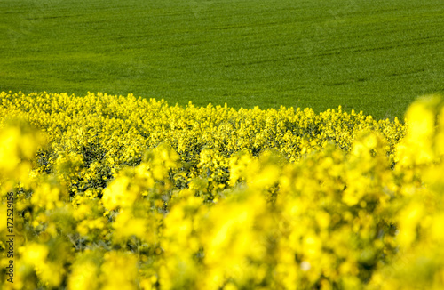 Fotobehang Geel Field with yellow rape