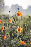 Misty summer end morning nature background with orange wild poppies