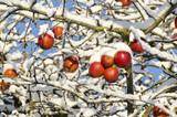 Autumn  apples on tree covered  snow, autumn background