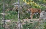 Tiger, zoo, wild, stripes - 172558947
