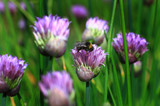 Bunch of vibrant chives with a bumble bee feeding in a natural english garden - 172592770
