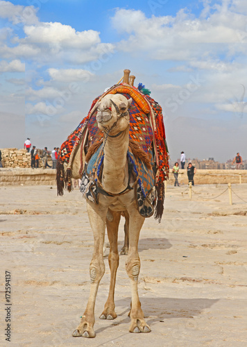 Aluminium Kameel Lone camel standing in the desert with a harness and blanket on it's back, waiting for tourists to take a ride around the historic sites