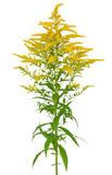 Solidago gigantea flower isolated on white background - 172603787