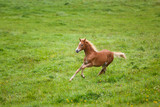 The running foal - 172669339