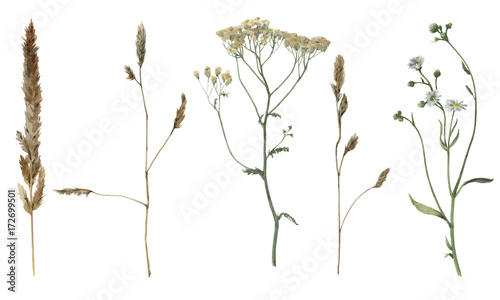 Set of watercolor field's plants isolated on white background. Botanical illustration. - 172699501