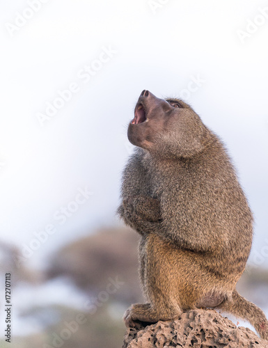 Wall mural Funny cute Baboon is yawning on the rock in Tarangire National Park