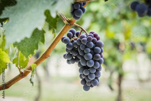 Papiers peints Vignoble Grappoli di uva nel vigneto durante la vendemmia