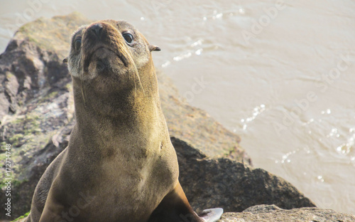 Fotobehang Rio de Janeiro Close up of a cute sea lion on the mole (breakwater) at Cassino beach in Rio Grande, Brazil