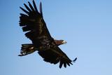 Flying eagle - 172715541