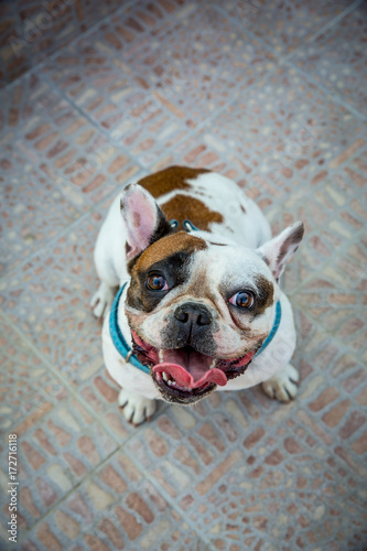 Poster Franse bulldog French bulldog / Young animal looking at the camera