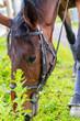 cheval broutant après le travail - 172718363